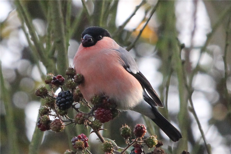 Bullfinch by Sue Lawlor