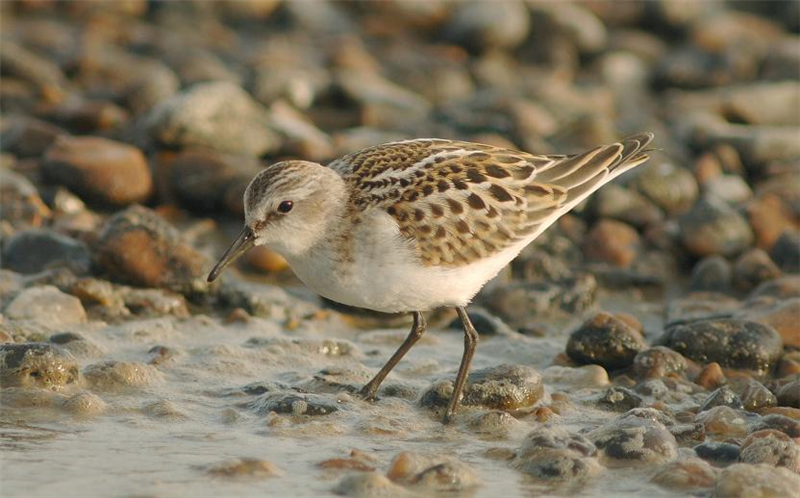 Little Stint at Salthouse by Julian Bhalerao