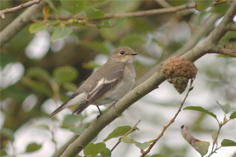 Pied Flycatcher in wells woods by Julian Bhalerao