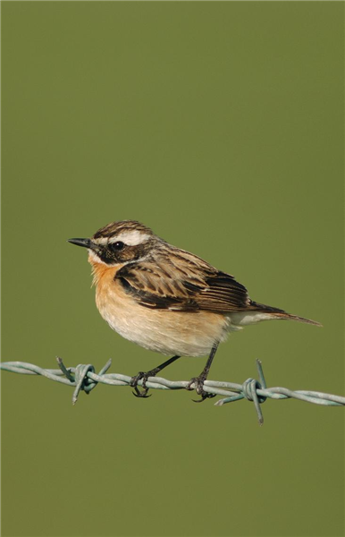 Whinchat at Salthouse by Julian Bhalerao