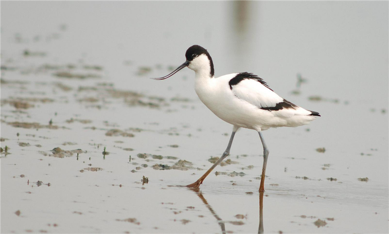 Avocet by Julian Bhalerao