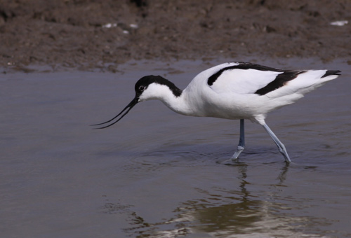Avocet by Will Soar