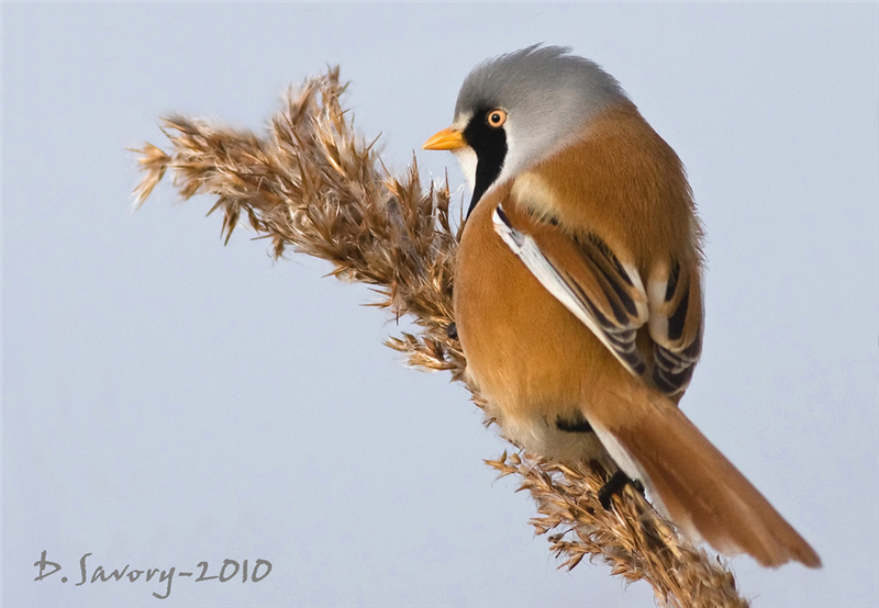 Bearded Tit by David Savory www.fenland-photography.co.uk