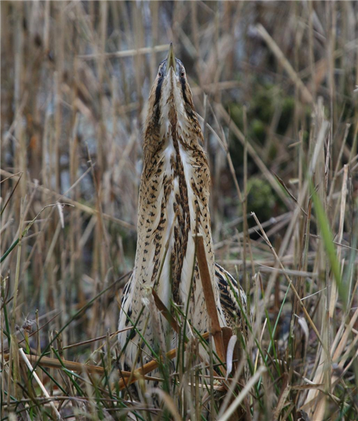 Bittern by Dave mansell