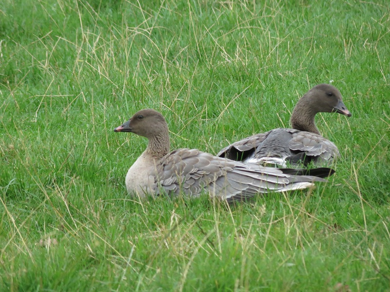 Pink-footed Goose by Stuart White