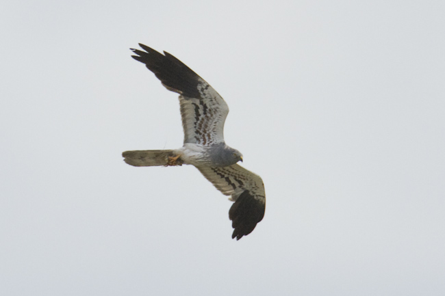 Birds Of Norfolk Key Species