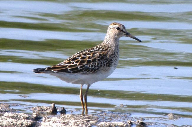 Pectoral Sandpiper by Robin Abel