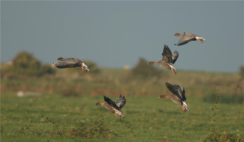 Pink-footed Geese by Julian Bhalerao