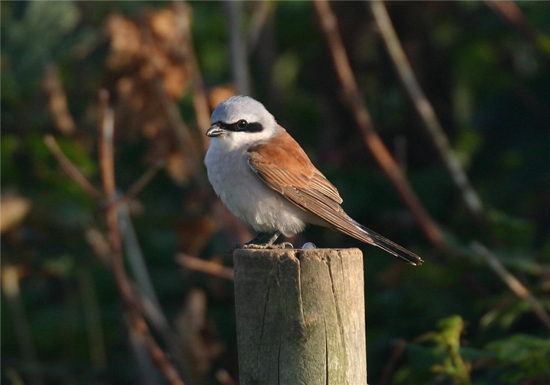 Red-backed Shrike by Dave Mansell