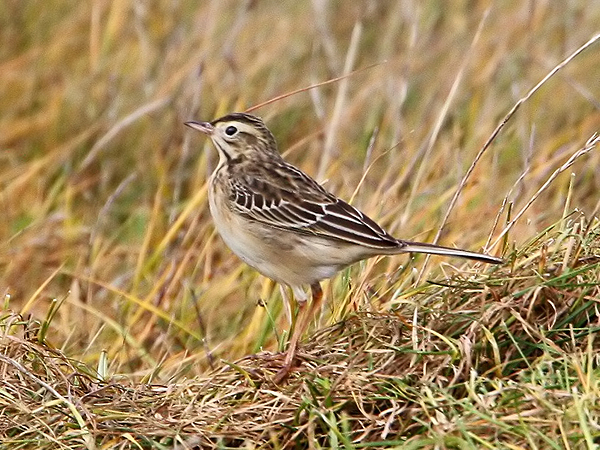 Richards Pipit by Chris Baines