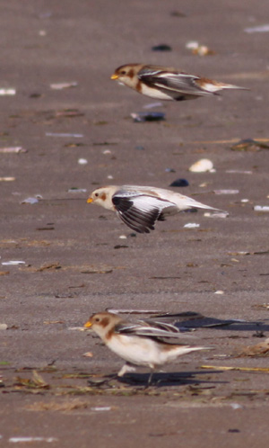 Snow Bunting by Will Soar