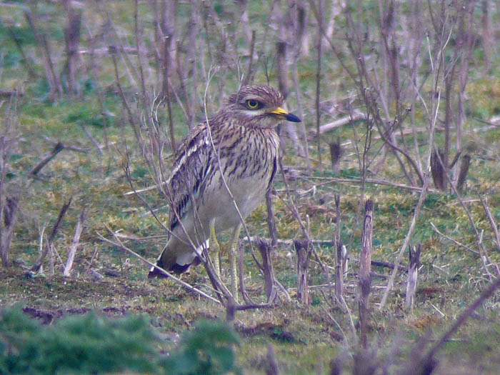 Stone Curlew by Russell Hayes