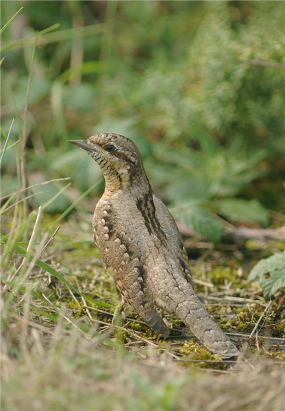 Wryneck by Julain Bhalerao