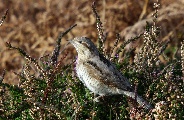Wryneck by Dave Curtis