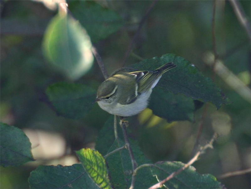Yellow-browed Warbler by Dave Mansell