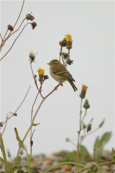 Yellow-browed Warbler by Julian Bhalerao