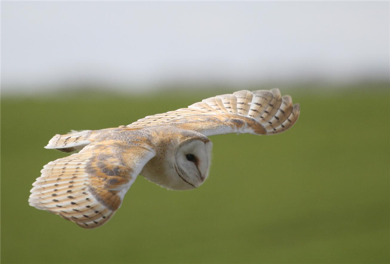 Barn owl by Dave Mansell