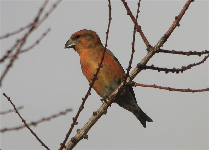 Common Crossbill by Dave Mansell