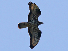 Honey Buzzard © Dave Appleton, www.gobirding.eu