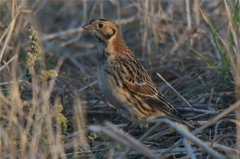 Lapland Bunting by Dave Mansell