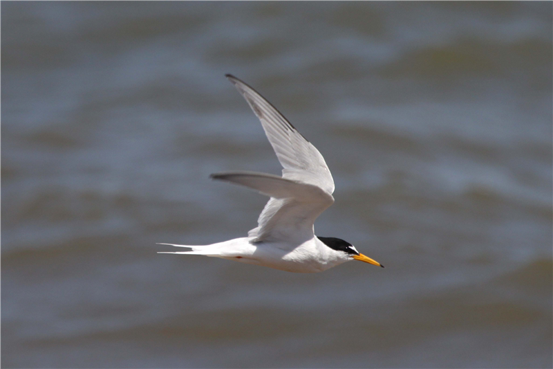 Little Tern by Nick Appleton