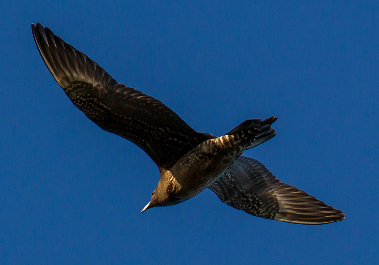 Long-tailed skua by Clive Keable