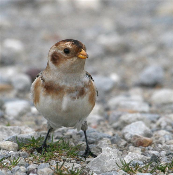 Snow Bunting by Dave Mansell