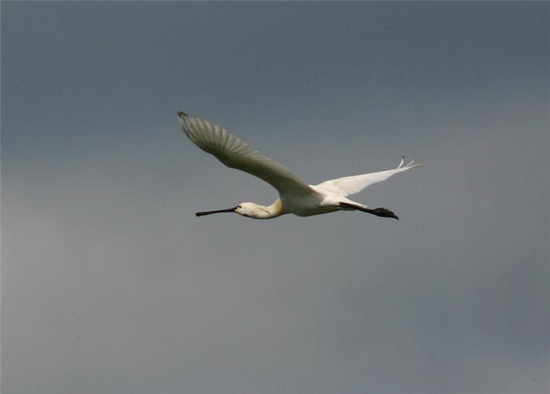 Spoonbill by Dave Mansell