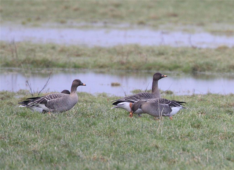 Tundra Bean Geese by Dave Mansell