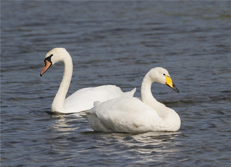 Whooper Swan by Dave Mansell